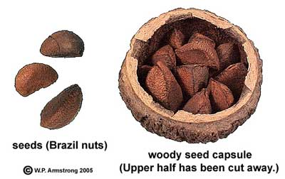 brazil nuts health benefits