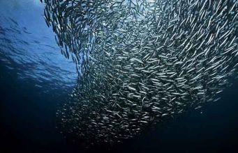 sardines health benefits