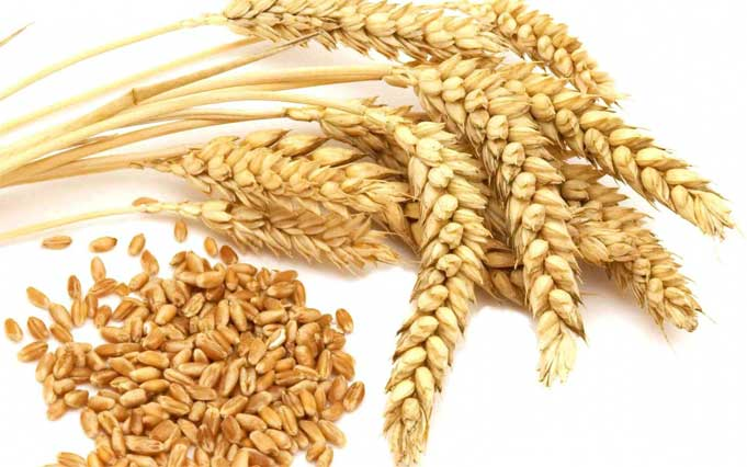 Wheat Germ Health Benefits