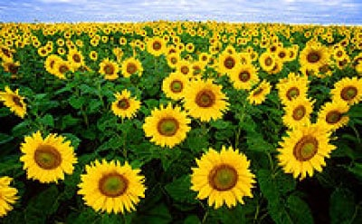 Health Benefits of Sunflower Seeds for Kids