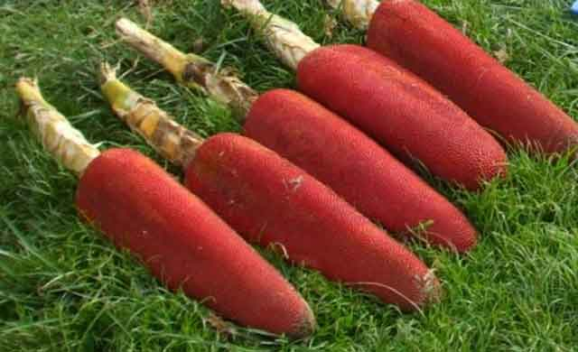 The Health Benefits of Red Fruit Papua