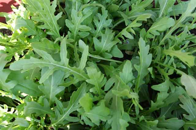 Arugula health benefits for eating