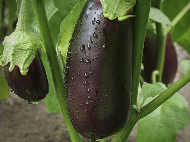 Eggplant-Health-Benefits-2