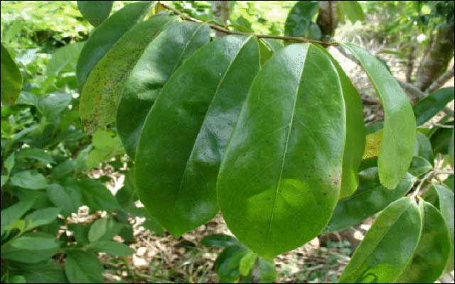 Soursop Leaves for Health Benefits