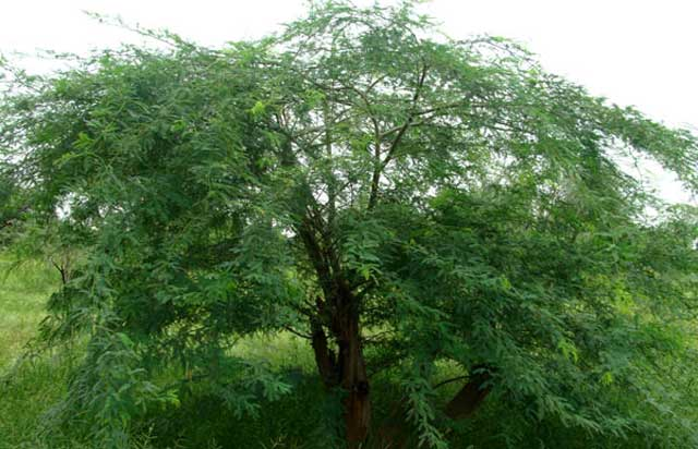 Babool tree Ayurvedic Medicine