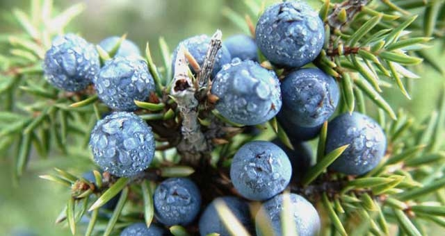 Health Benefits of Juniper Berry