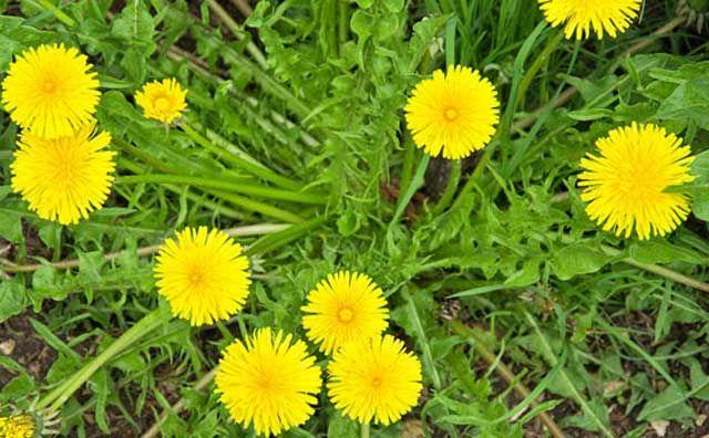 health benefits of dandelion