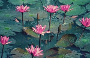 health benefits lotus flower
