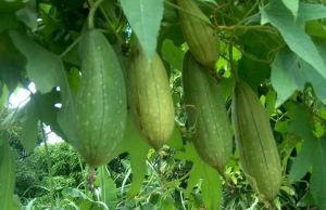 health benefits of luffa