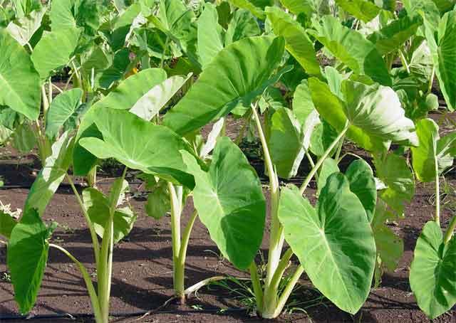 taro plant, health benefits opf Taro