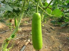 health benefits of bottle gourd