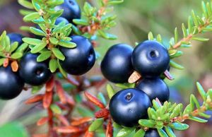 health benefits of crowberry fruit