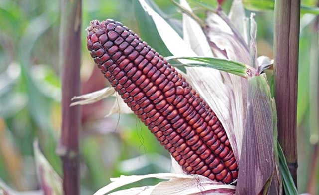 Awesome health benefits of corn, purple corn