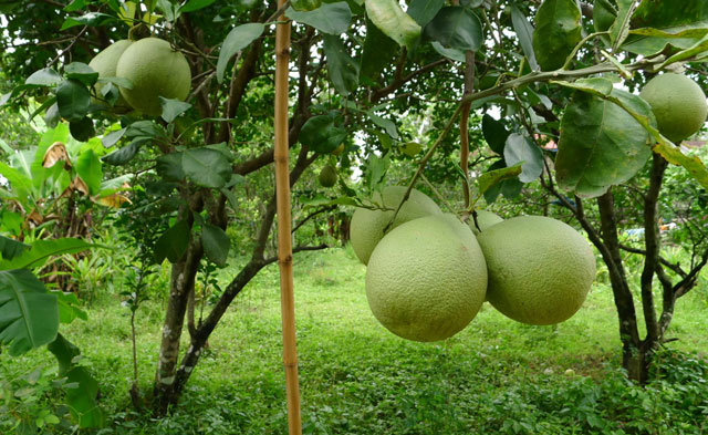 pomelo tree images and health benefits