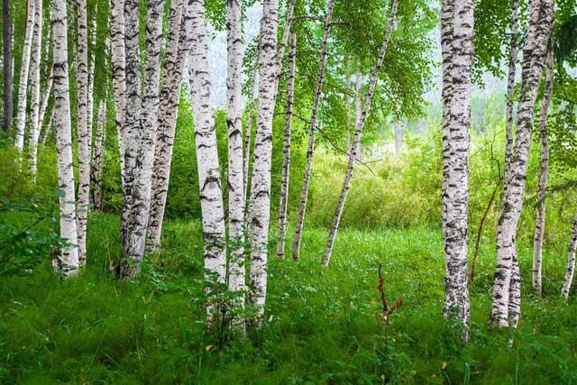 Birch Essential Oil tree