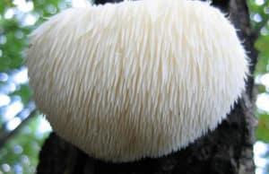 Health benefits of Lion's Mane Mushroom
