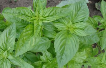 Benefits of Using Basil on skin