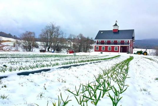 health Benefits of Snow Mountain Garlic