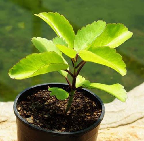 life plant health benefits
