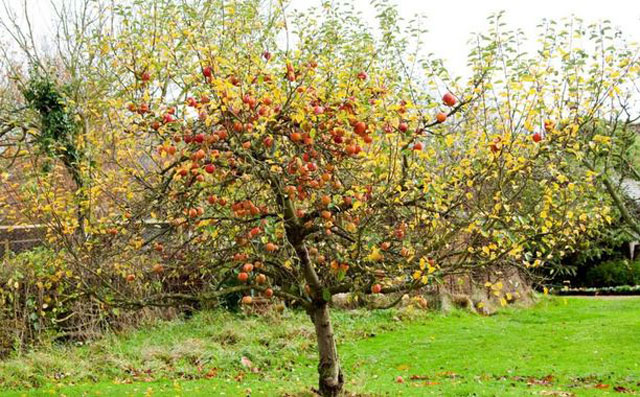 Braeburn Apples tree