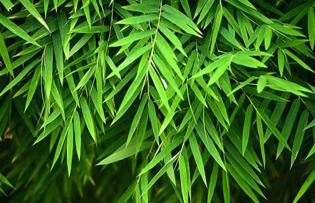 Bamboo leaves health benefits