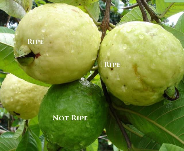 how to eat guava fruit