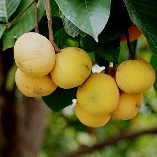 santol fruit health benefits