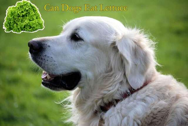 Can Dogs Eat Lettuce