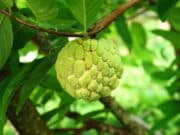Health Benefits of Atis Fruit