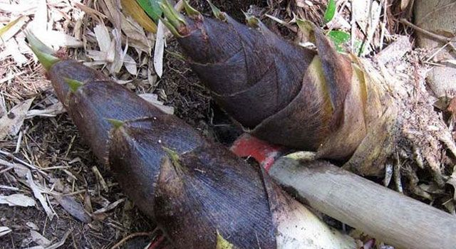 The Health Benefits of Bamboo Shoot