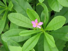 Waterleaf Health Benefits