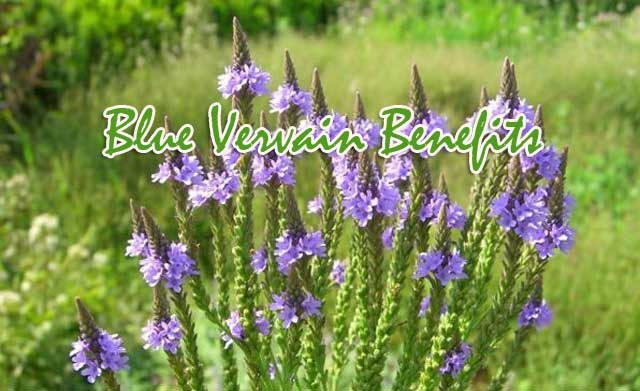 Benefits Of Blue Vervain
