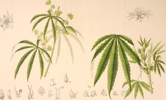 A Brief History Of Medical Cannabis